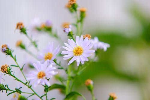 Selective Focus Photography of White Aster Flowers