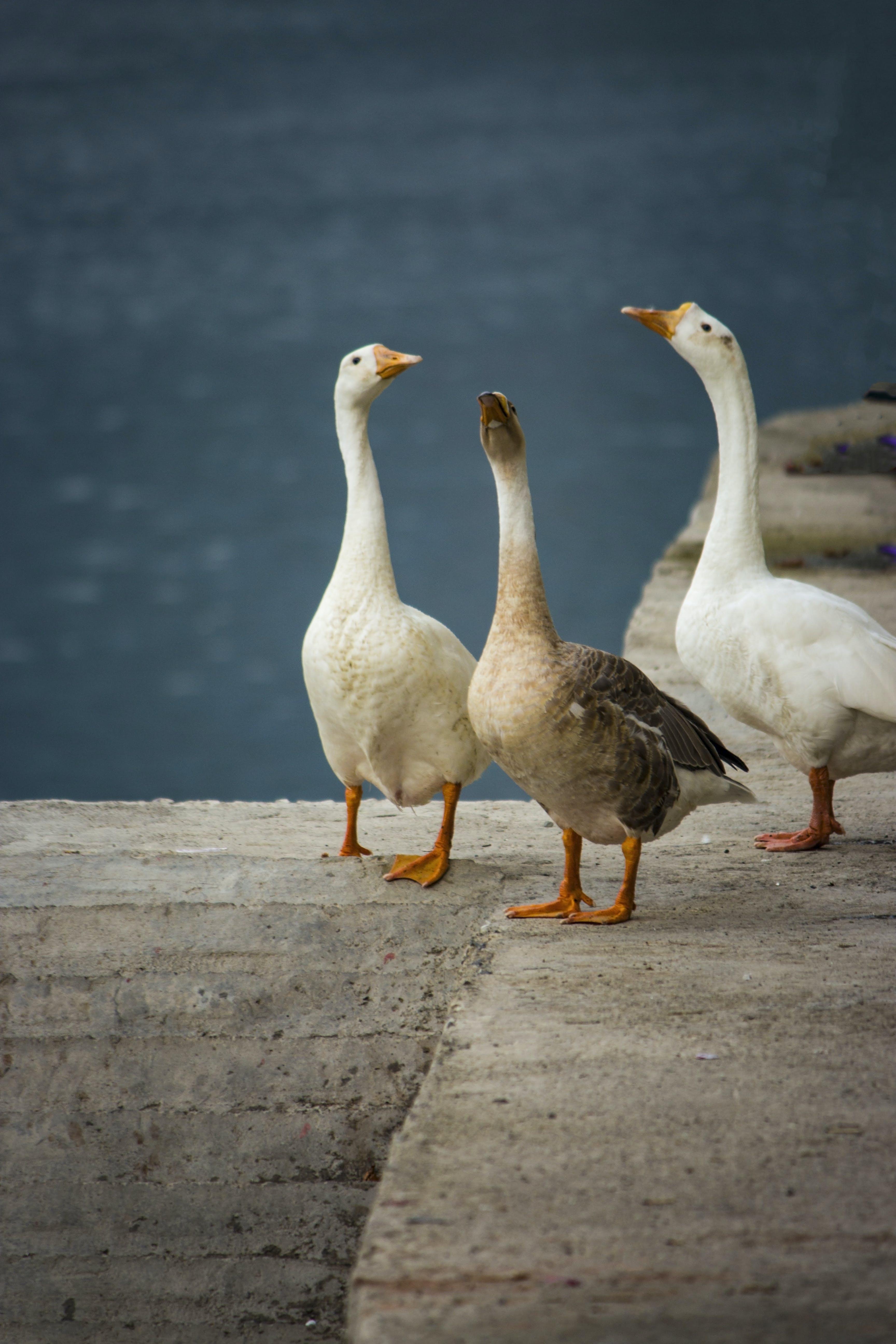 Foto d'estoc gratuïta de #flying #puppylove #howdoyouhunt #hunters #duckcal, #goose #bird #geese #ducks #wildlife #goosehunting