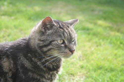 Gray Tabby Cat on Grass Field