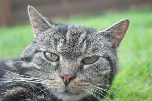 Brown Tabby Cat on Green Grass Close-up Photography