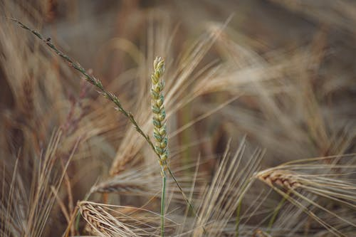 Close-Up Photography of Wheat