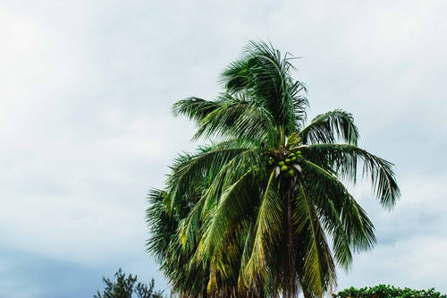Photo of Coconut Tree