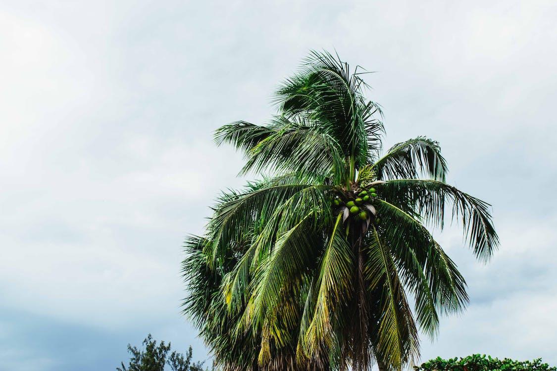 エキゾチック, ココナッツの木, トロピカル