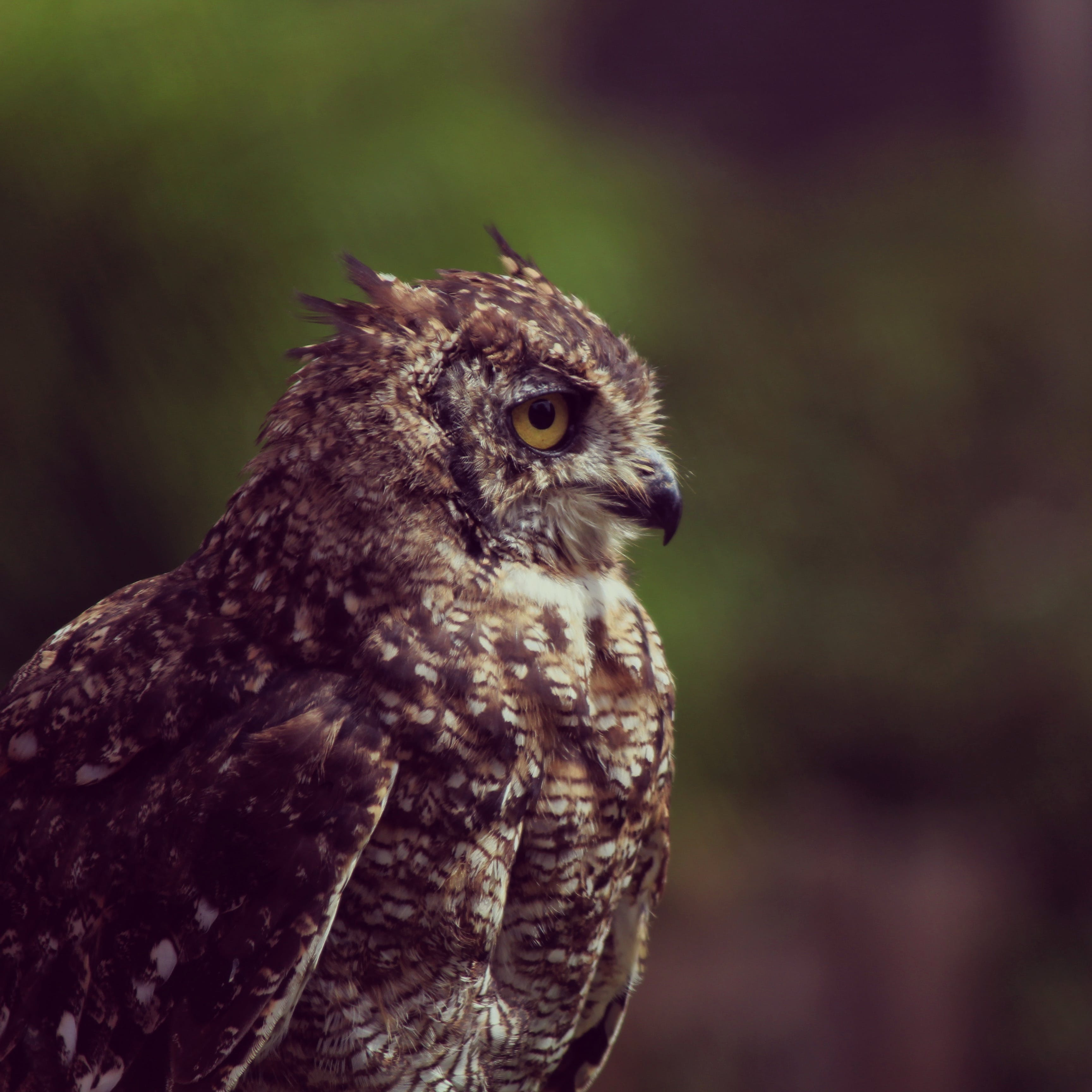Photo of Brown Owl