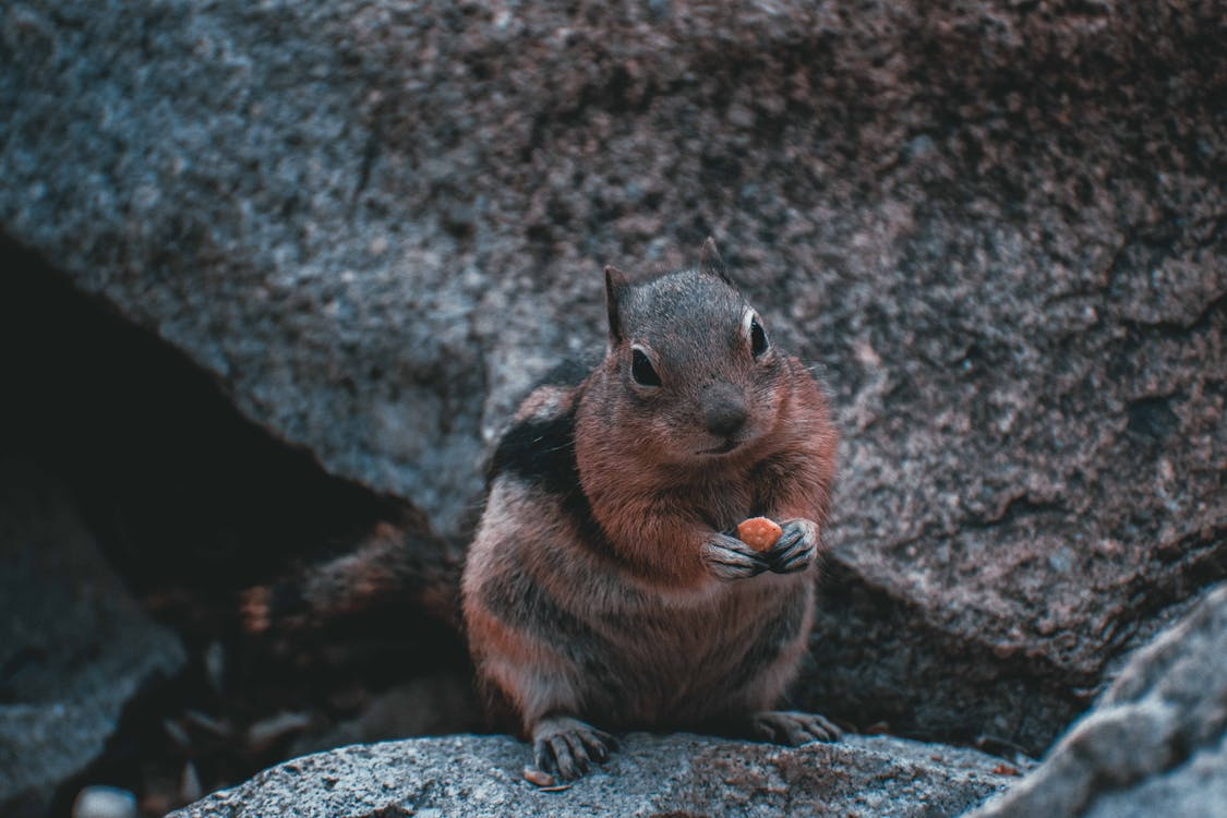 Photo of Brown Chipmunk Holding Food