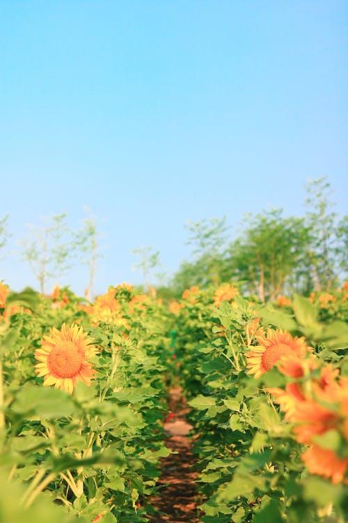 #, #bunga-bunga, #sunflowers