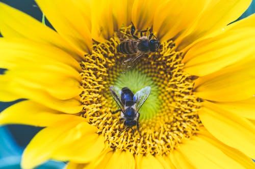 Foto profissional grátis de abelhas, amarelo, aumento, brilhante