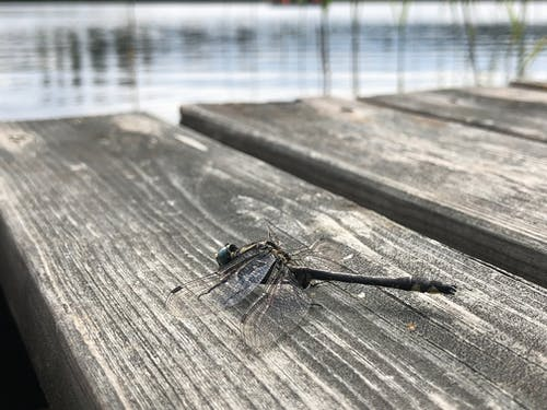 Free stock photo of dragonfly, Eastern Finland, Finland, maladesign