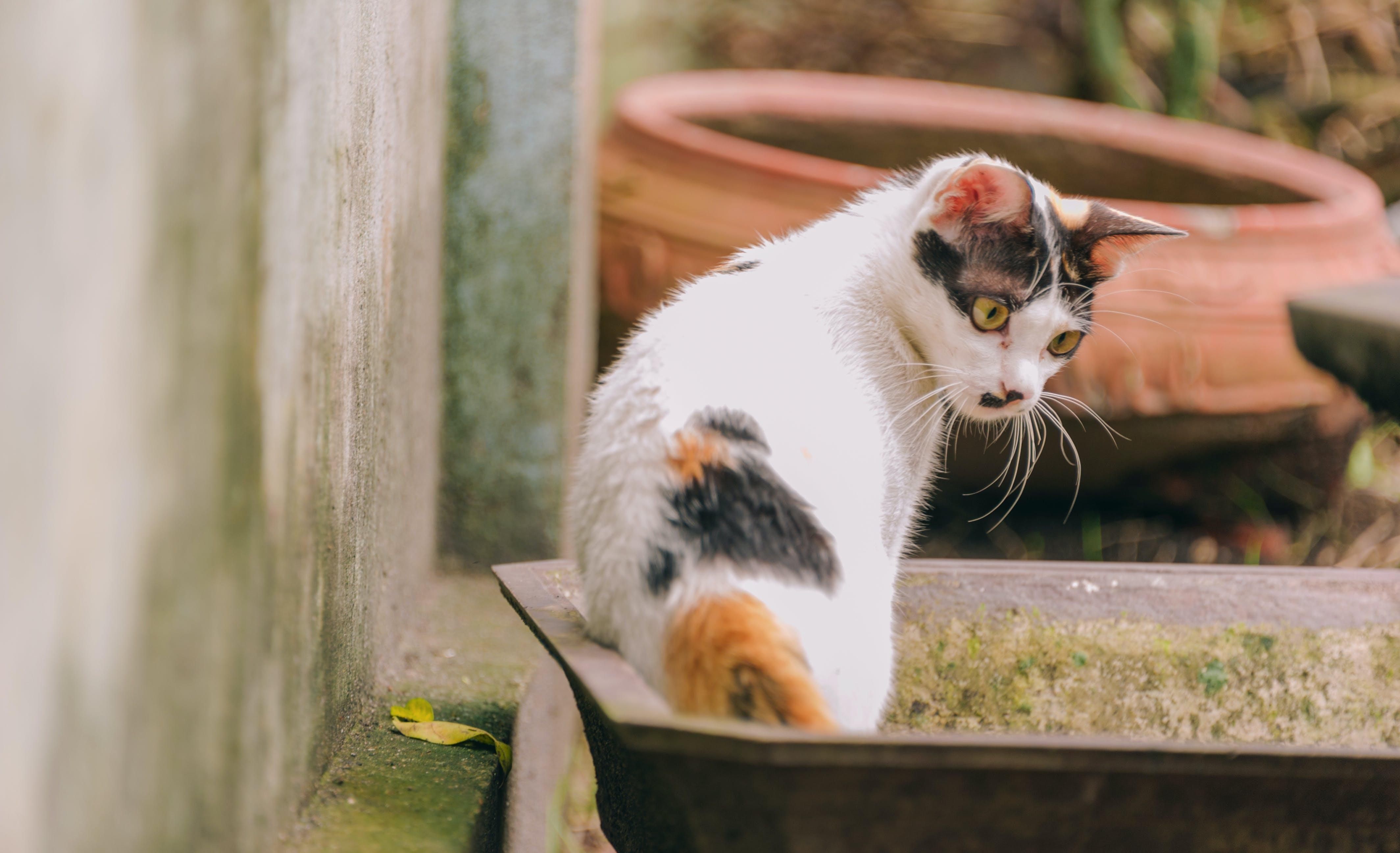 Short-fur Cat