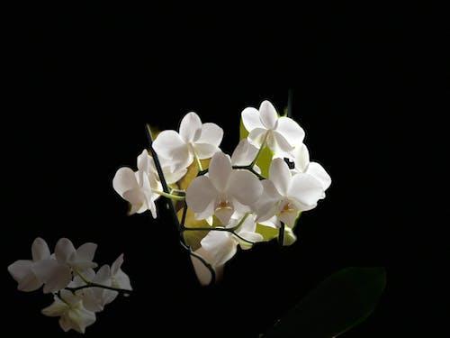 Základová fotografie zdarma na téma bílá, bílá orchidej, kytka, na výšku