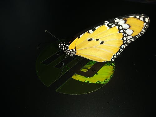 Free stock photo of black background, butterfly