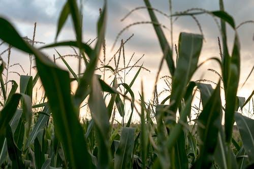 Darmowe zdjęcie z galerii z gospodarstwo, krajobraz, kukurydza, lato