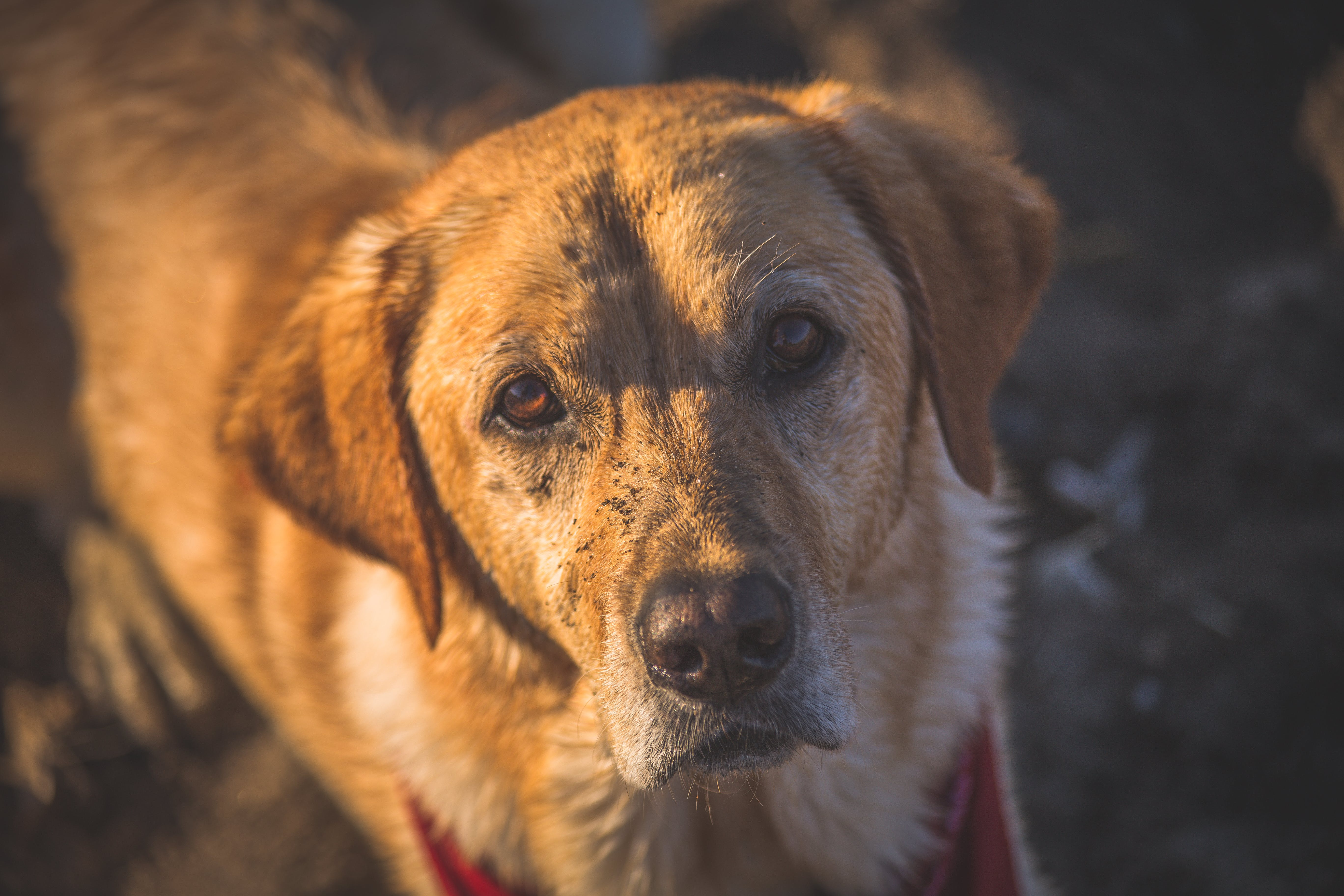 Close-up Photography of Adult Golden Retriever
