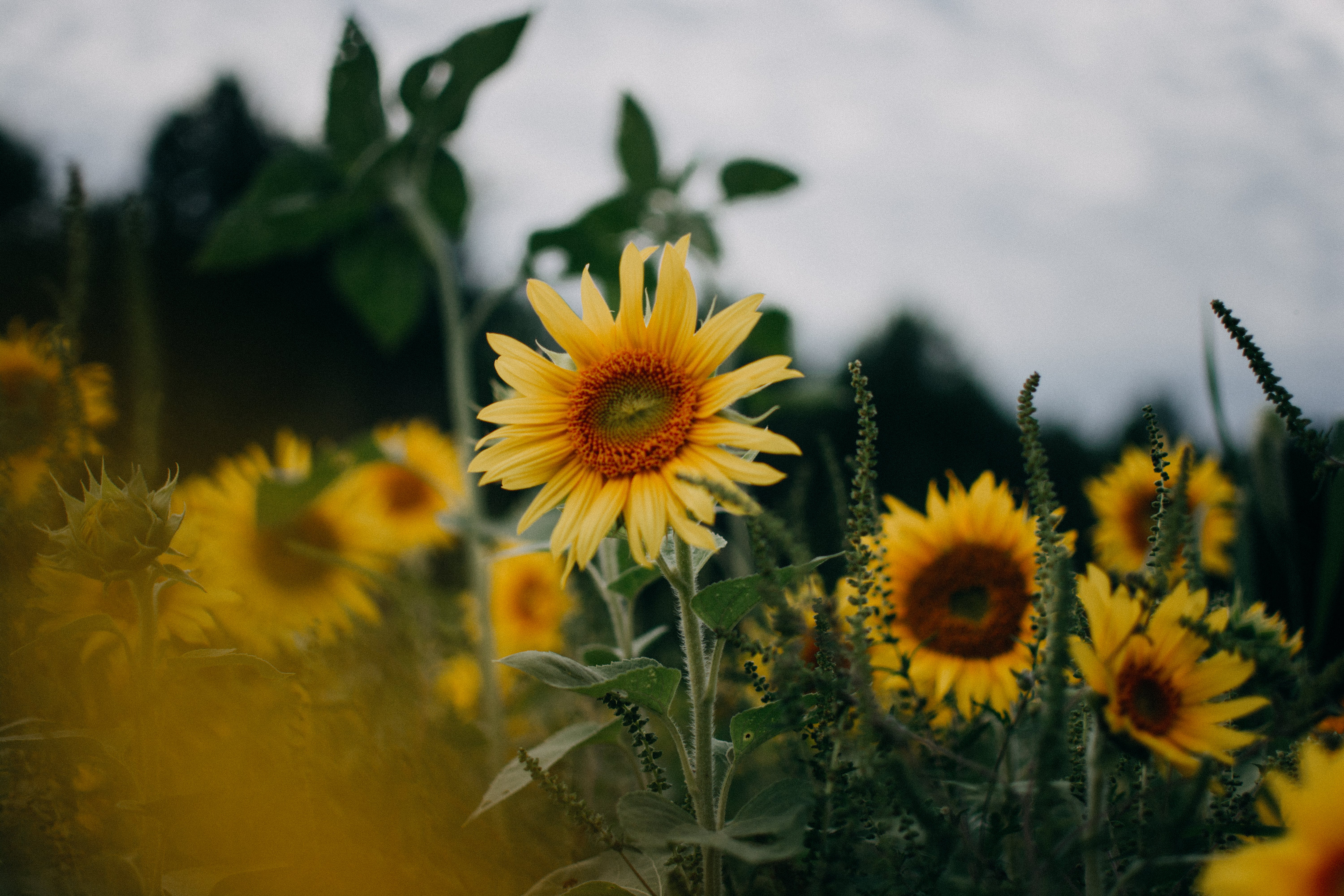 Sunflowers In Shallow Focus Lens