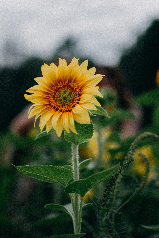 camp, creixement, flor