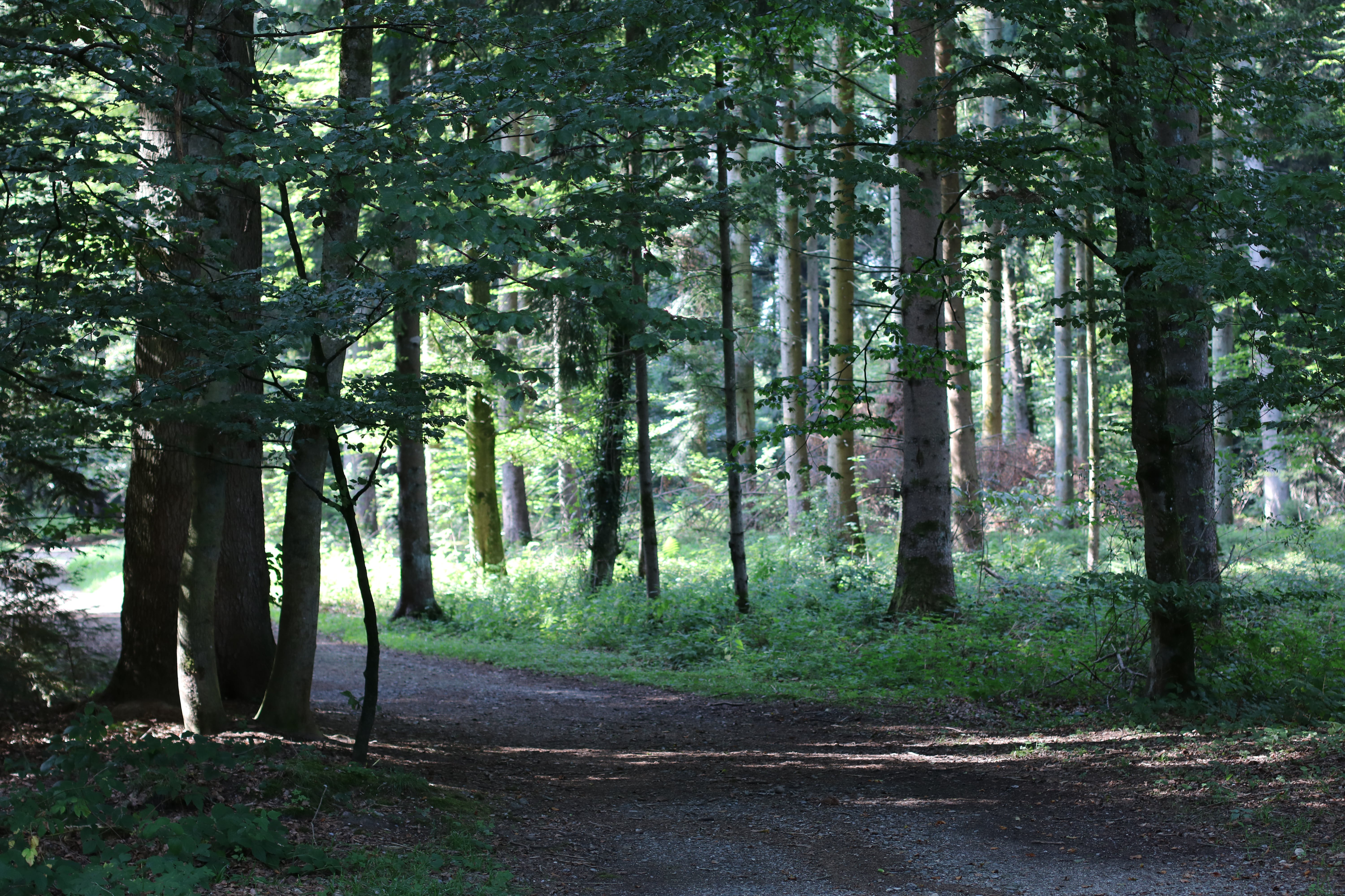 Free stock photo of firs, forest, nature, sunny