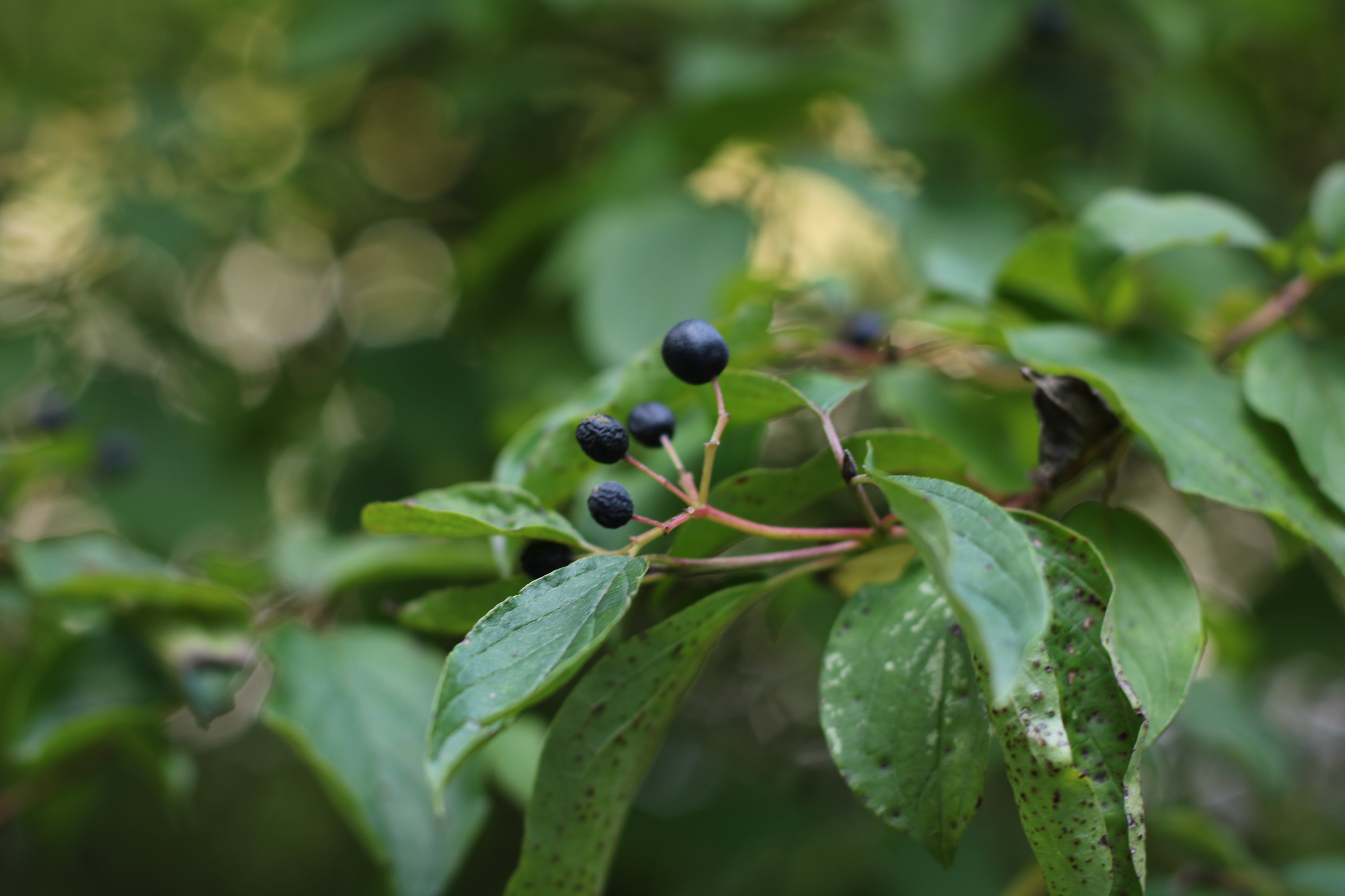 Black Berries On Tree