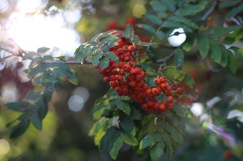 Безкоштовне стокове фото на тему «відділення, дерево, макрофотографія, фрукт»