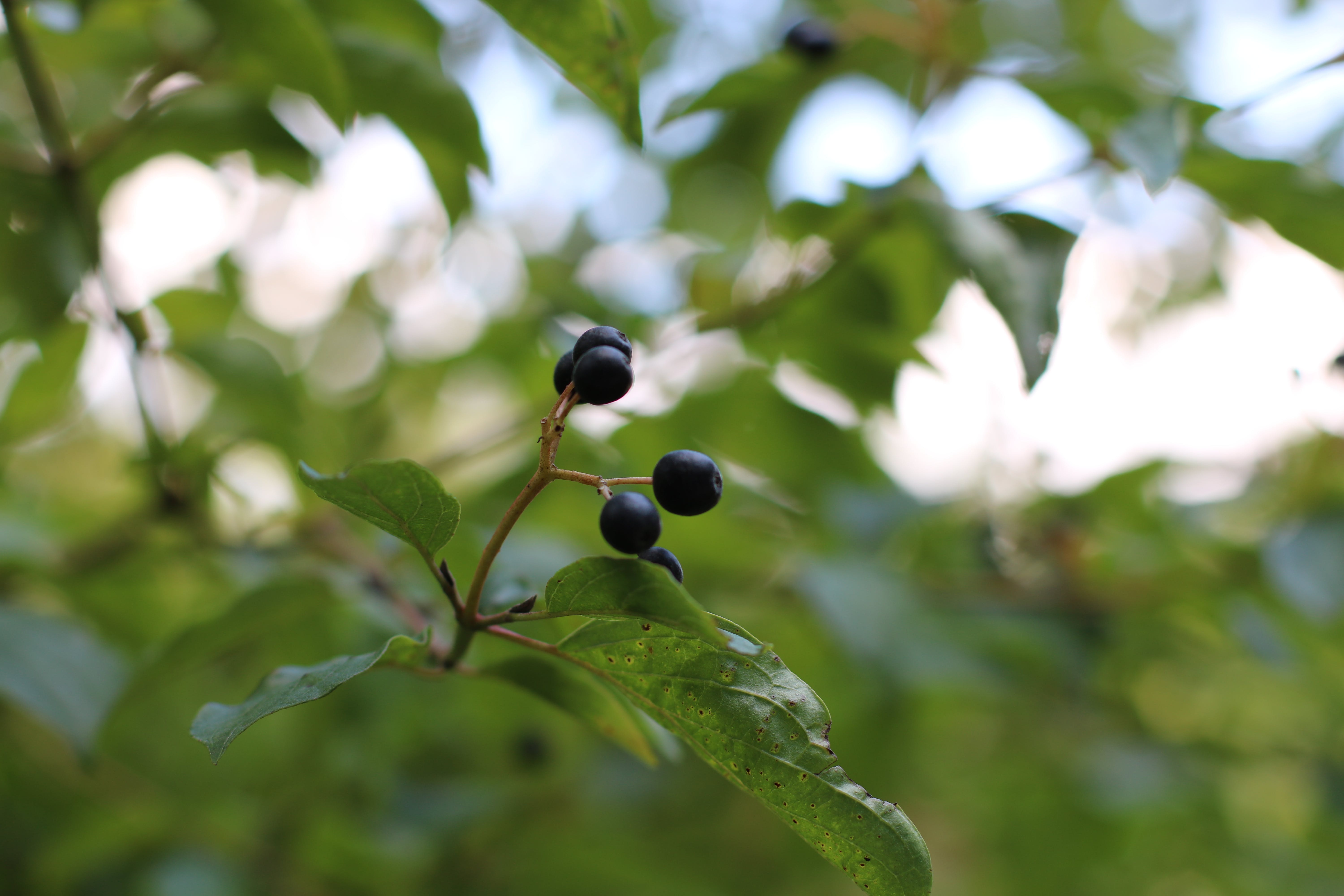 Free stock photo of berry, bilberry, blueberries, blueberry