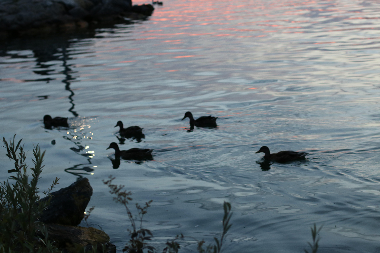 Free stock photo of ducks, gorgeous, nature, sunset