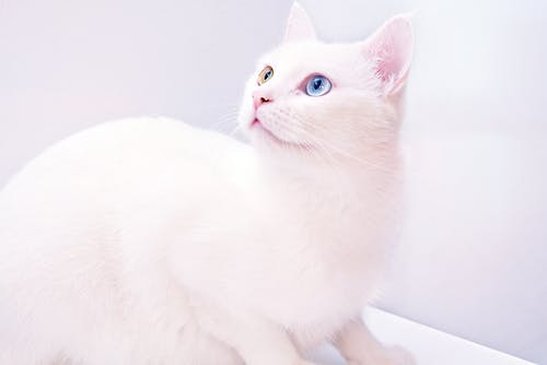 Photography Of White Cat