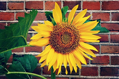 Yellow Sunflower in Bloom Near Red Brick Wall