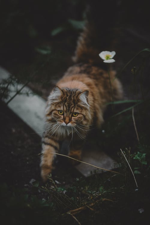 Brown and Black Cat Standing on Green Grass
