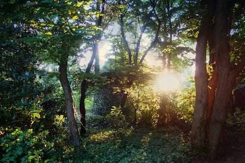 Free stock photo of backlight, forest, summer, sunlight