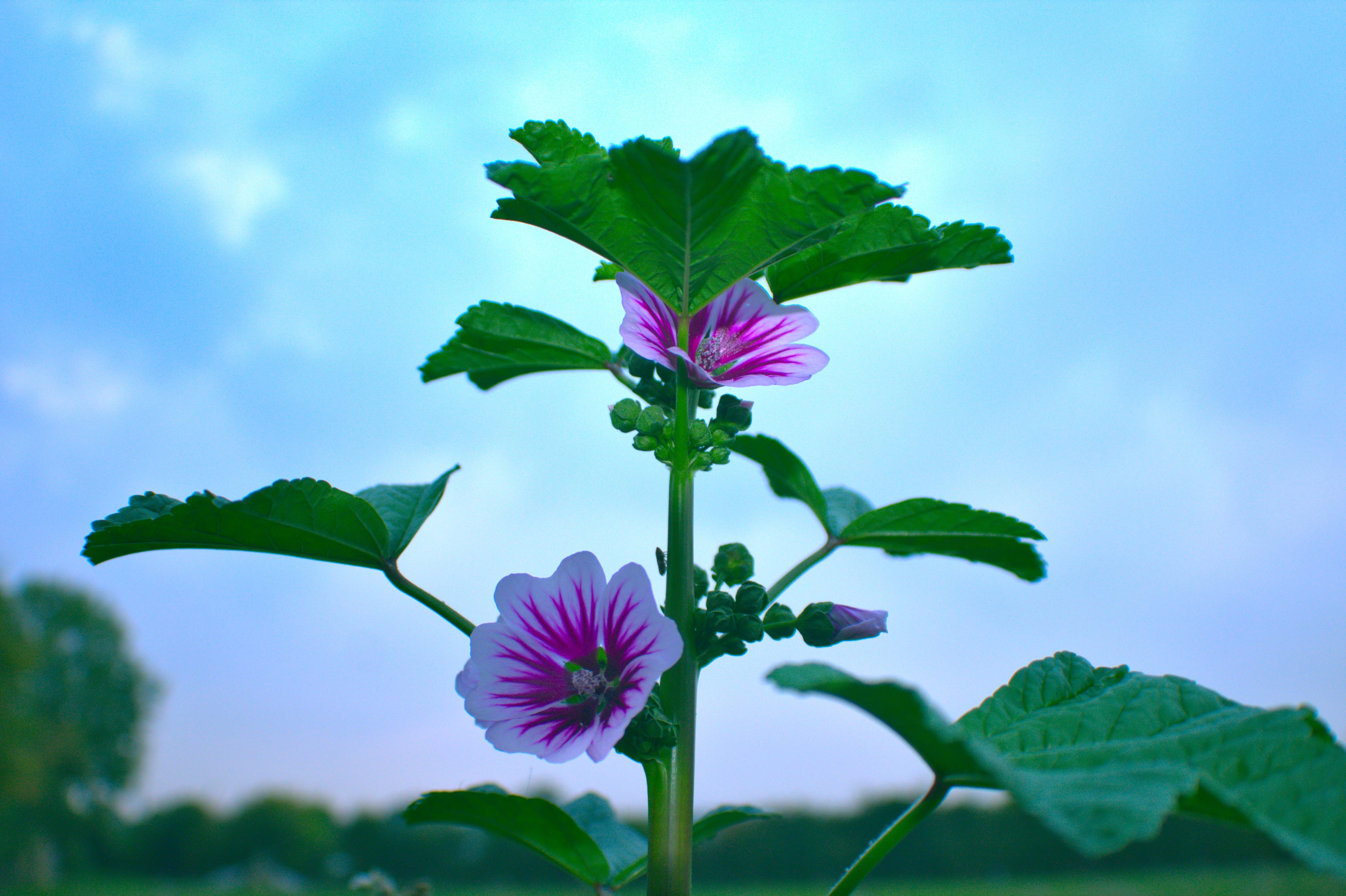 Free stock photo of flower, malva, plant