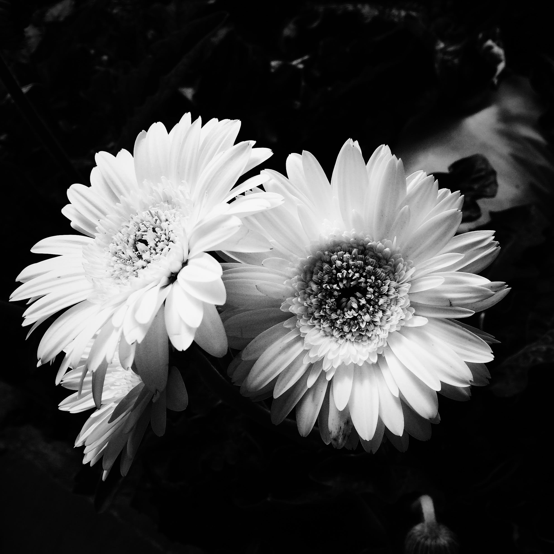 Kostenloses Stock Foto zu blühen, blumenstrauß, blüte, blütenblätter