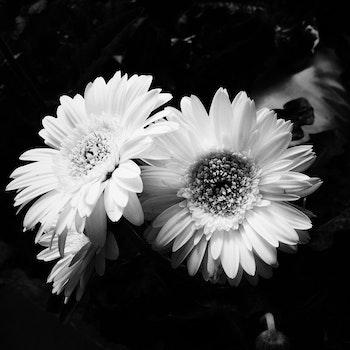 3 Chamomile Flowers