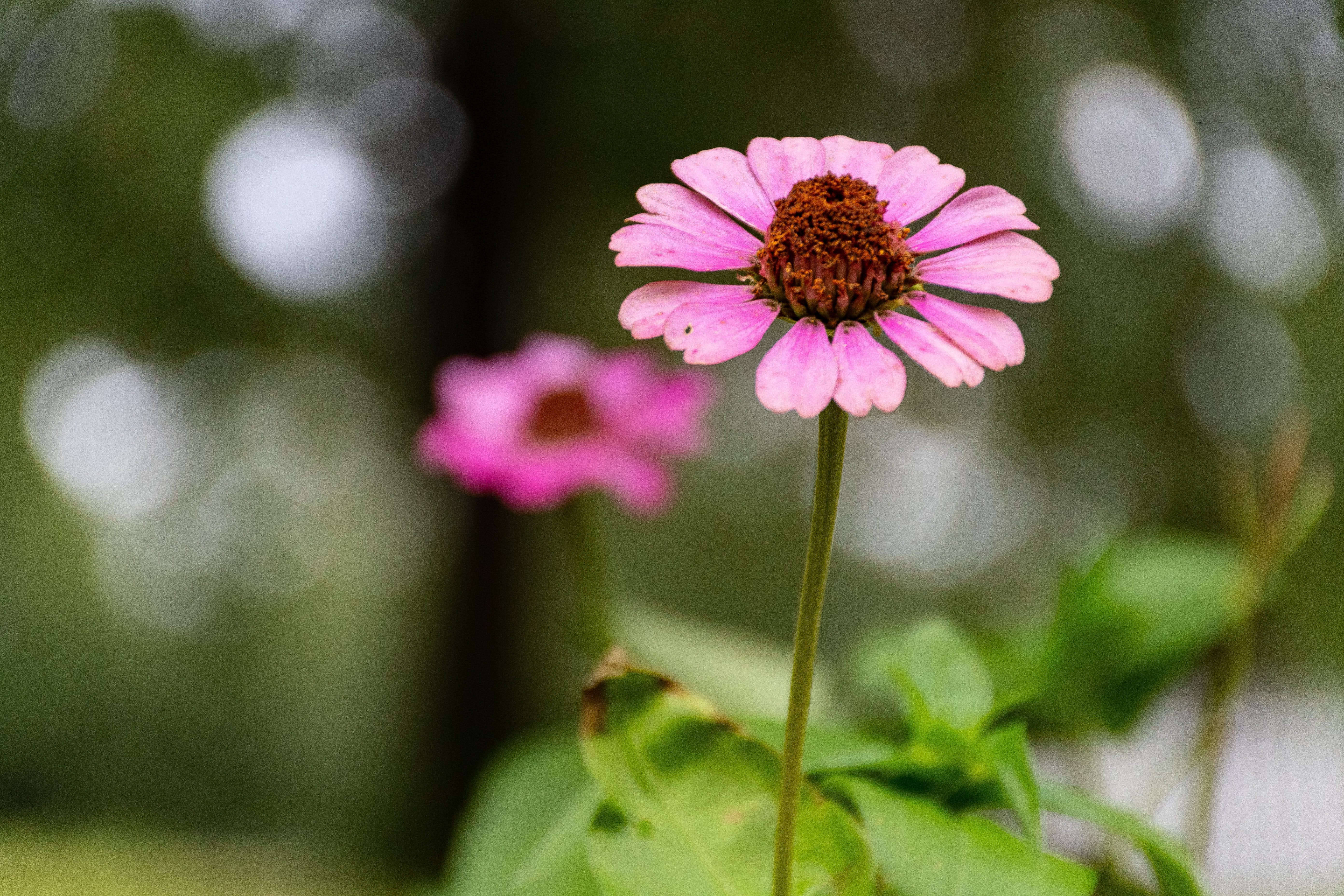 Selective Focus Photo of Pink Coneflower