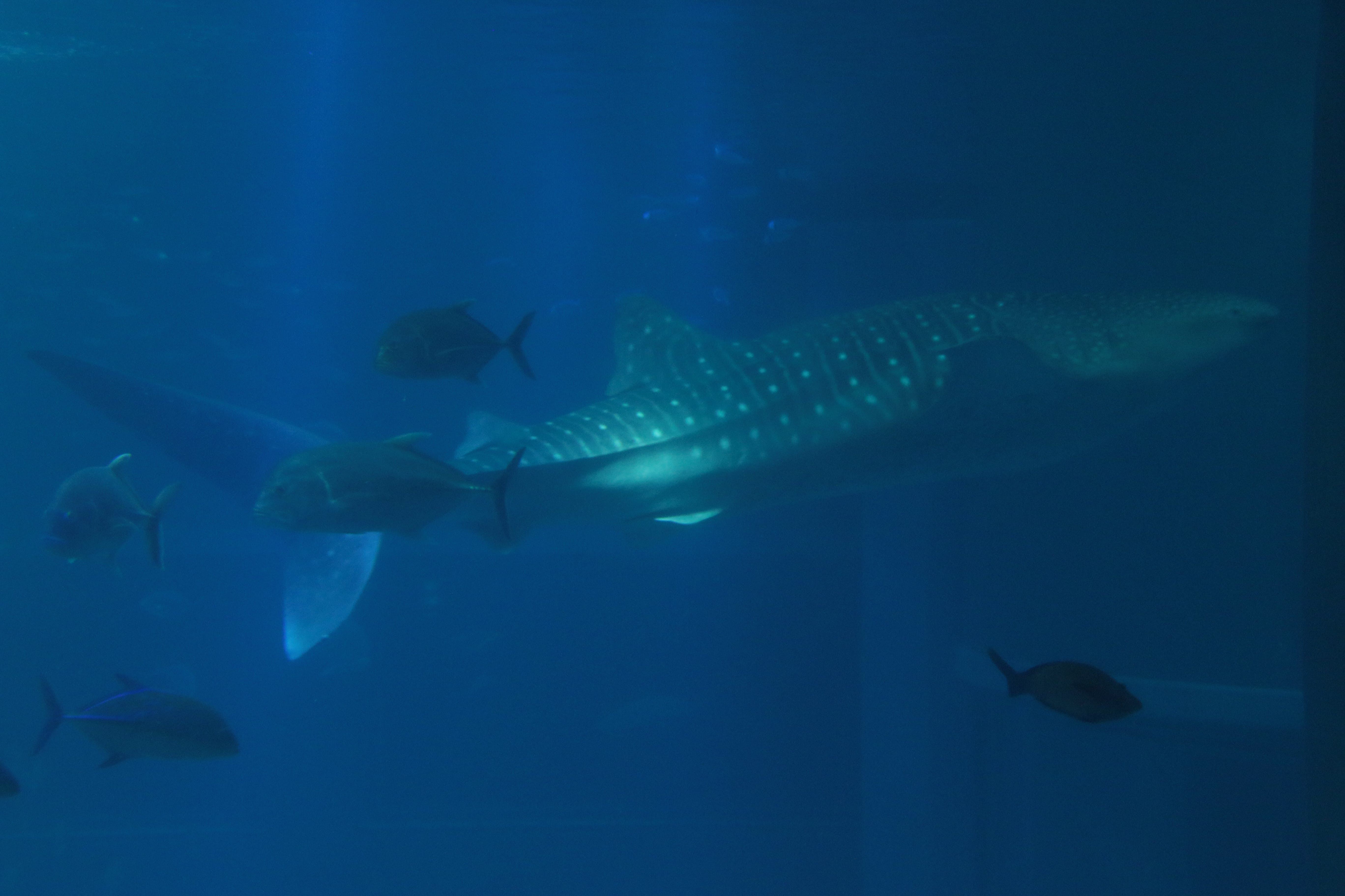 Free stock photo of aquarium, whale shark