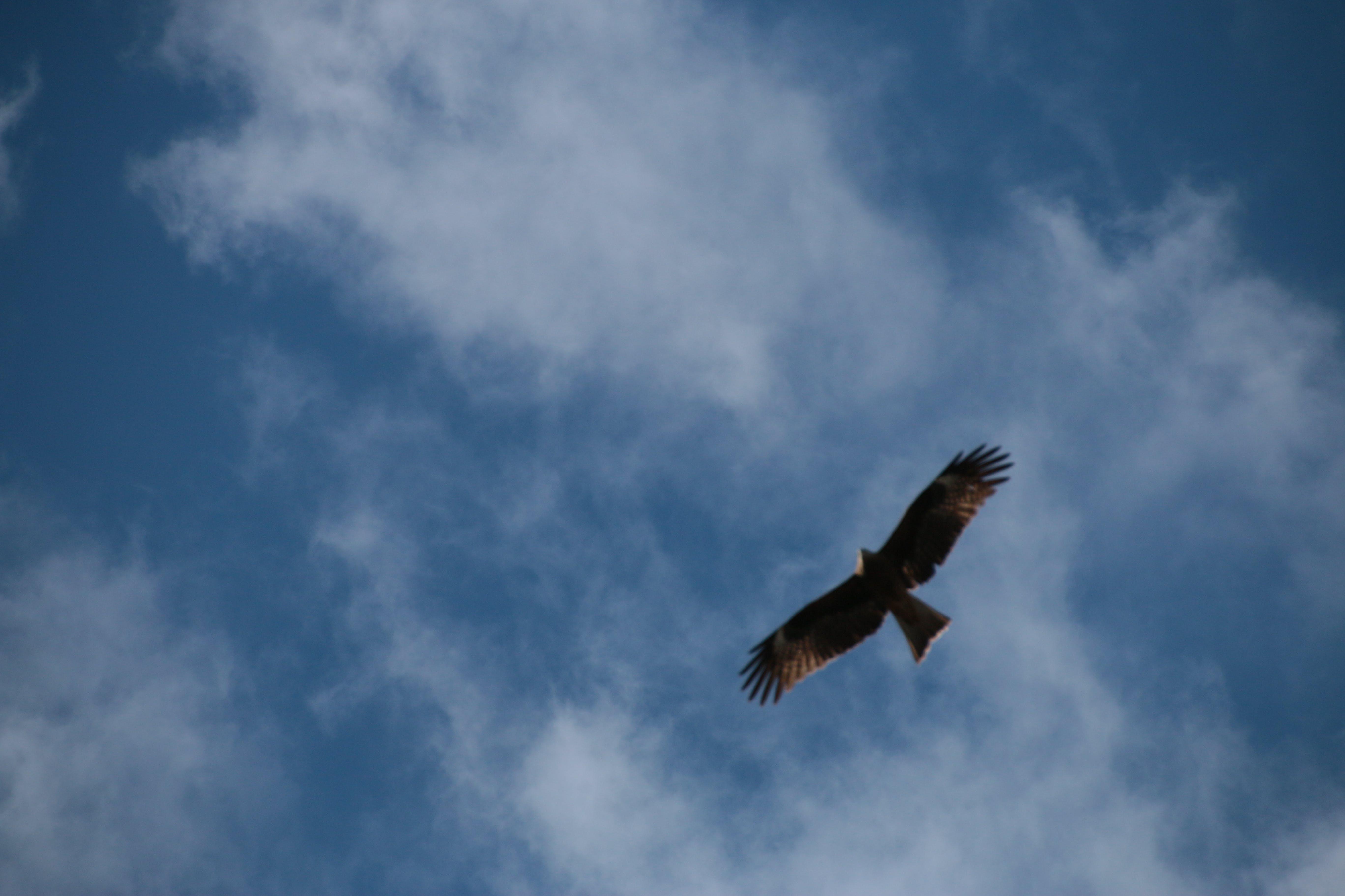 Free stock photo of eagle