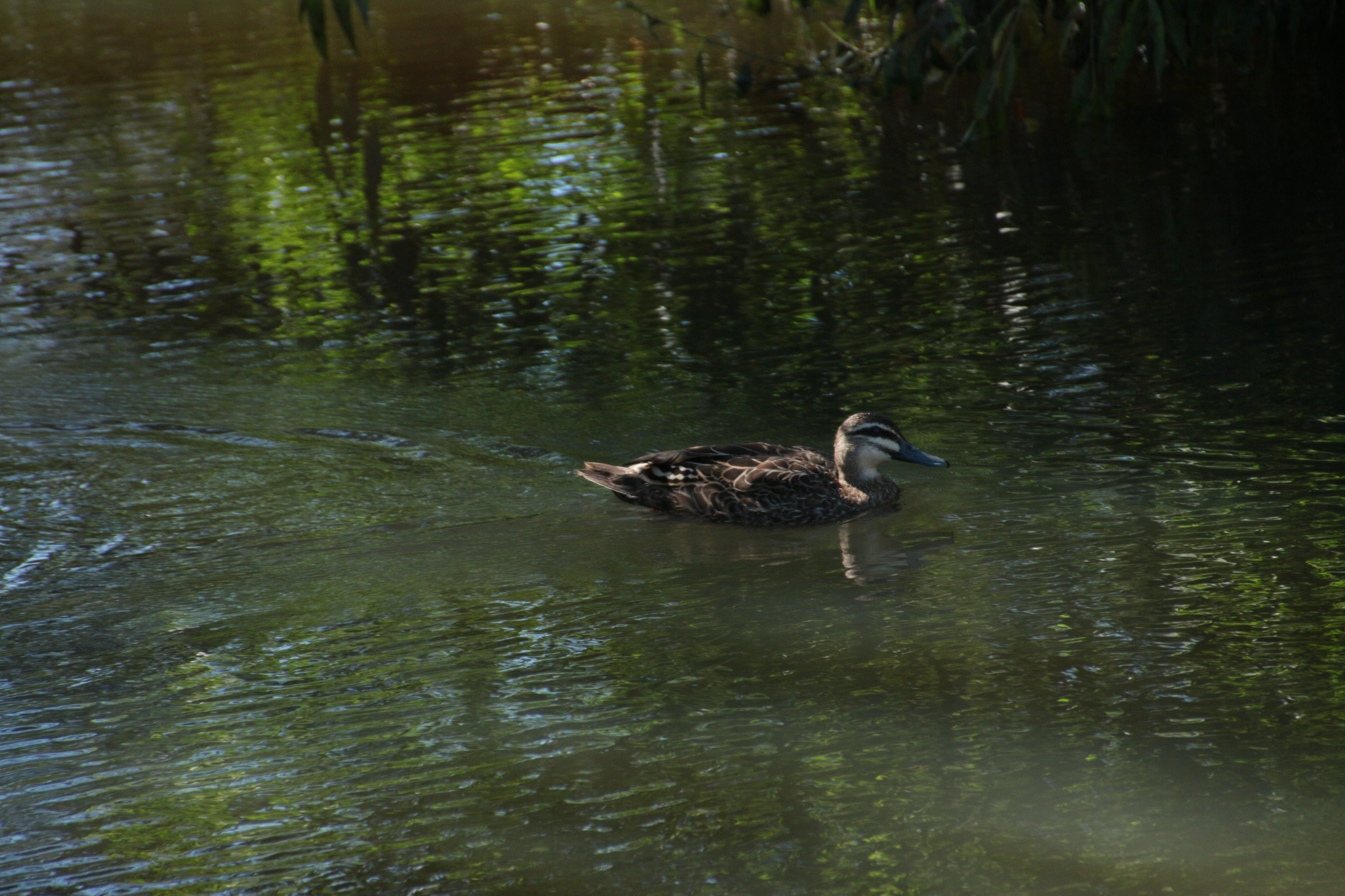Free stock photo of duck, pond