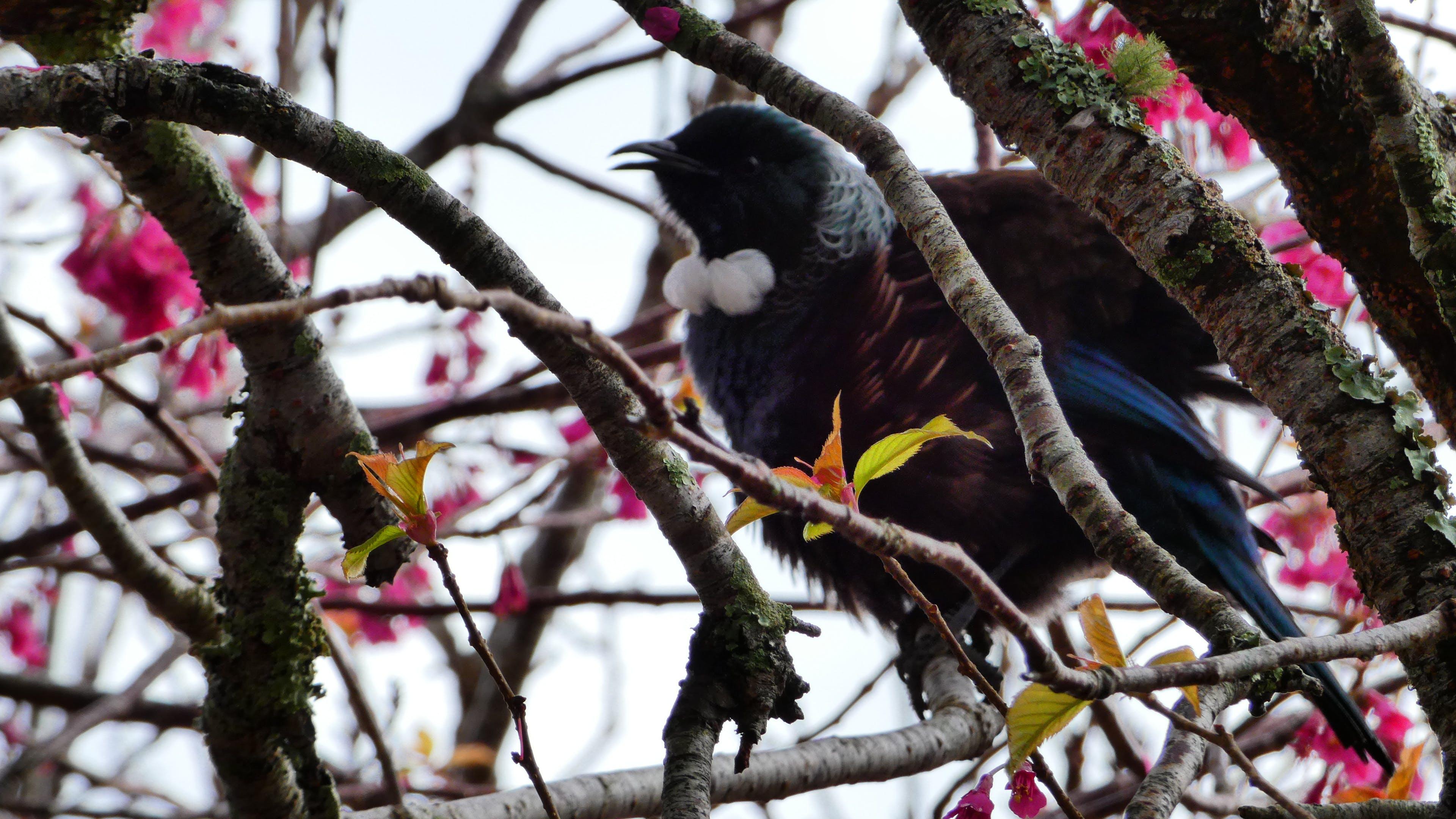 Free stock photo of bird, botanical gardens, cherry blossom, nature
