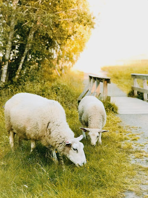 Two White Sheep Eating Grass