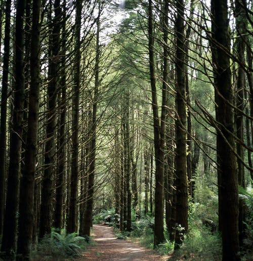 Unpaved Pathway Between Trees