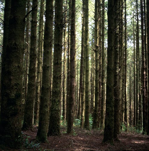Free stock photo of mother nature, nature trail, pine trees