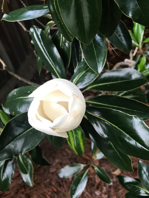Free stock photo of magnolia