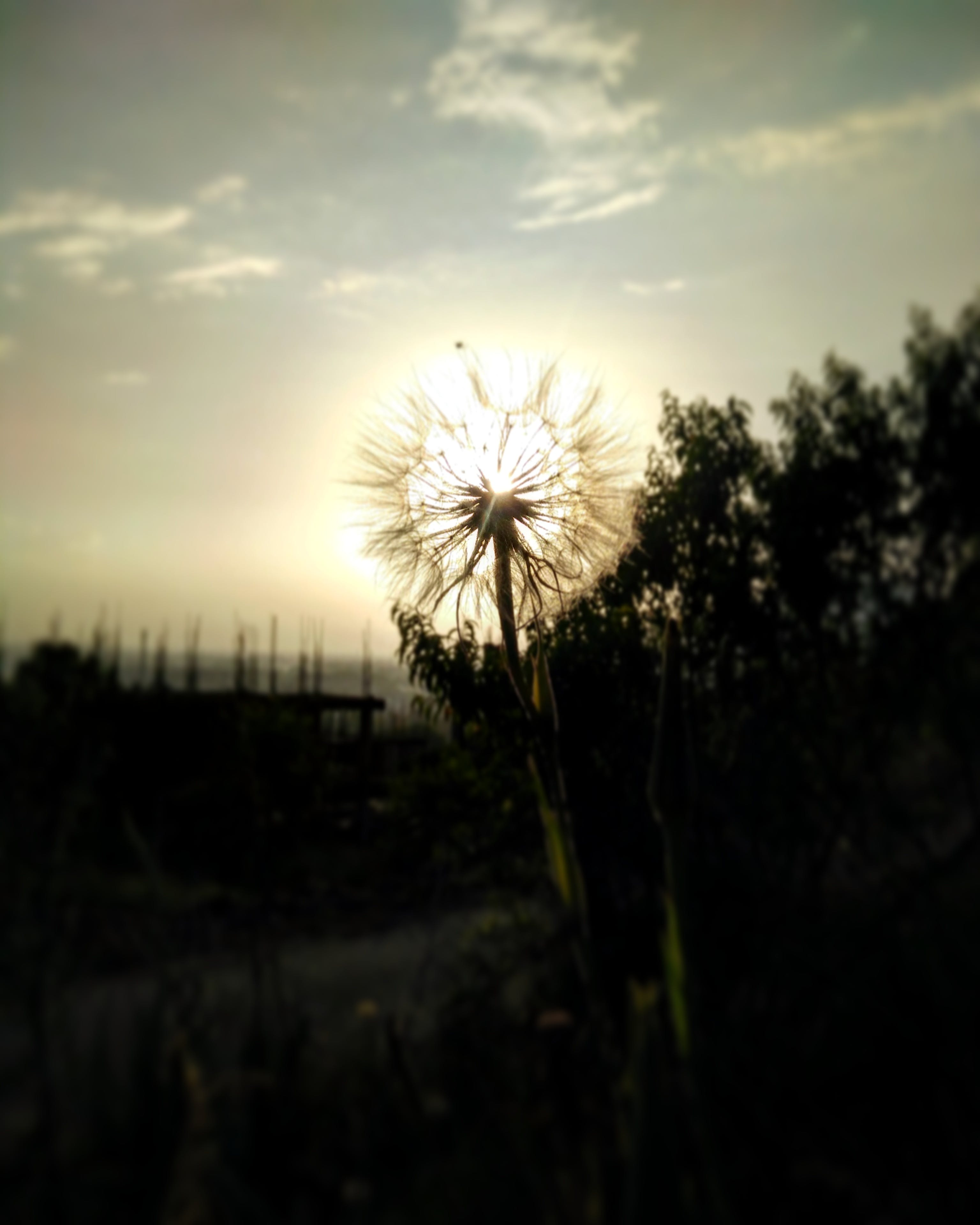 Silhouette of Dandelion Flower in Bloom