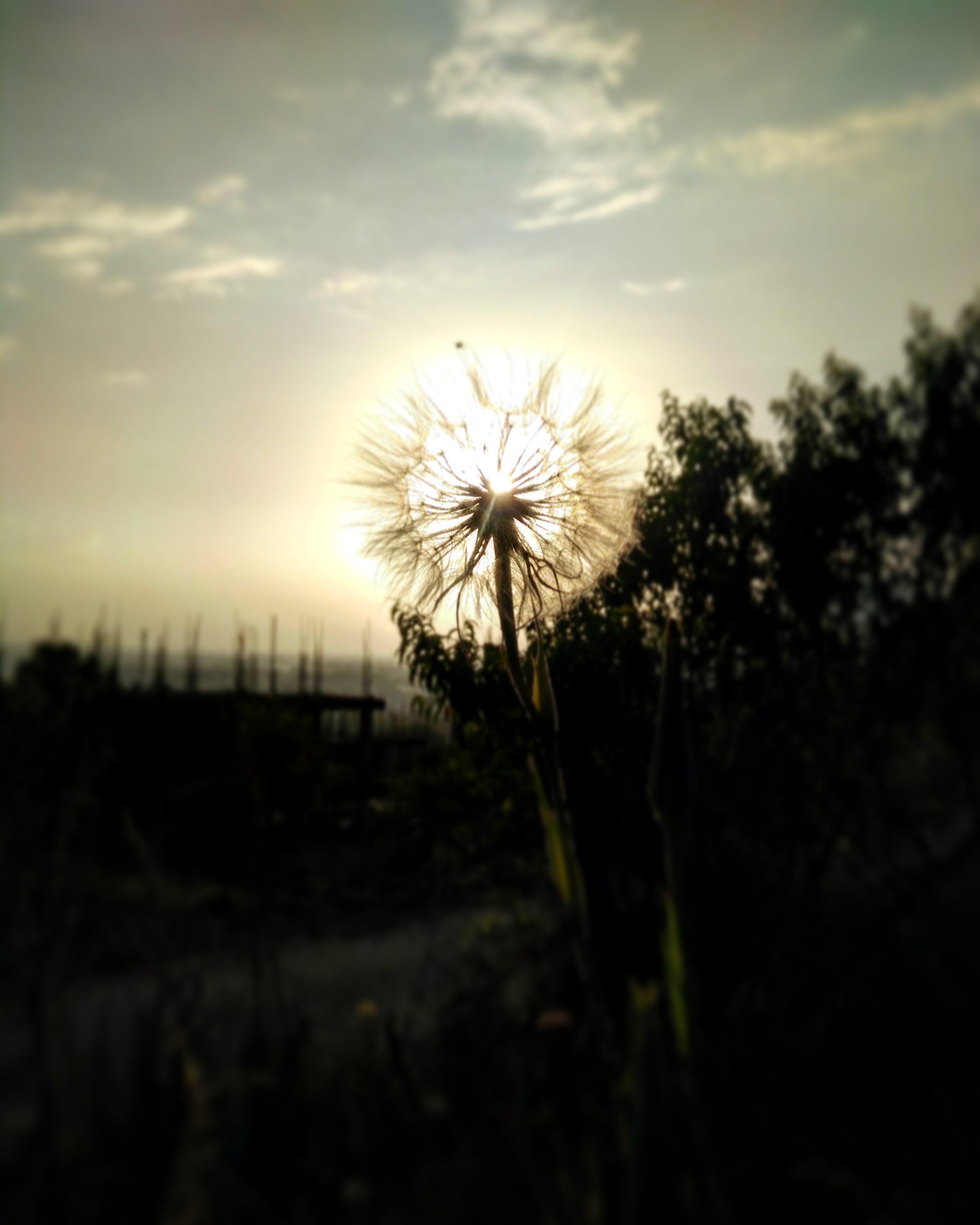Free stock photo of silhouette, flower, outdoors, macro