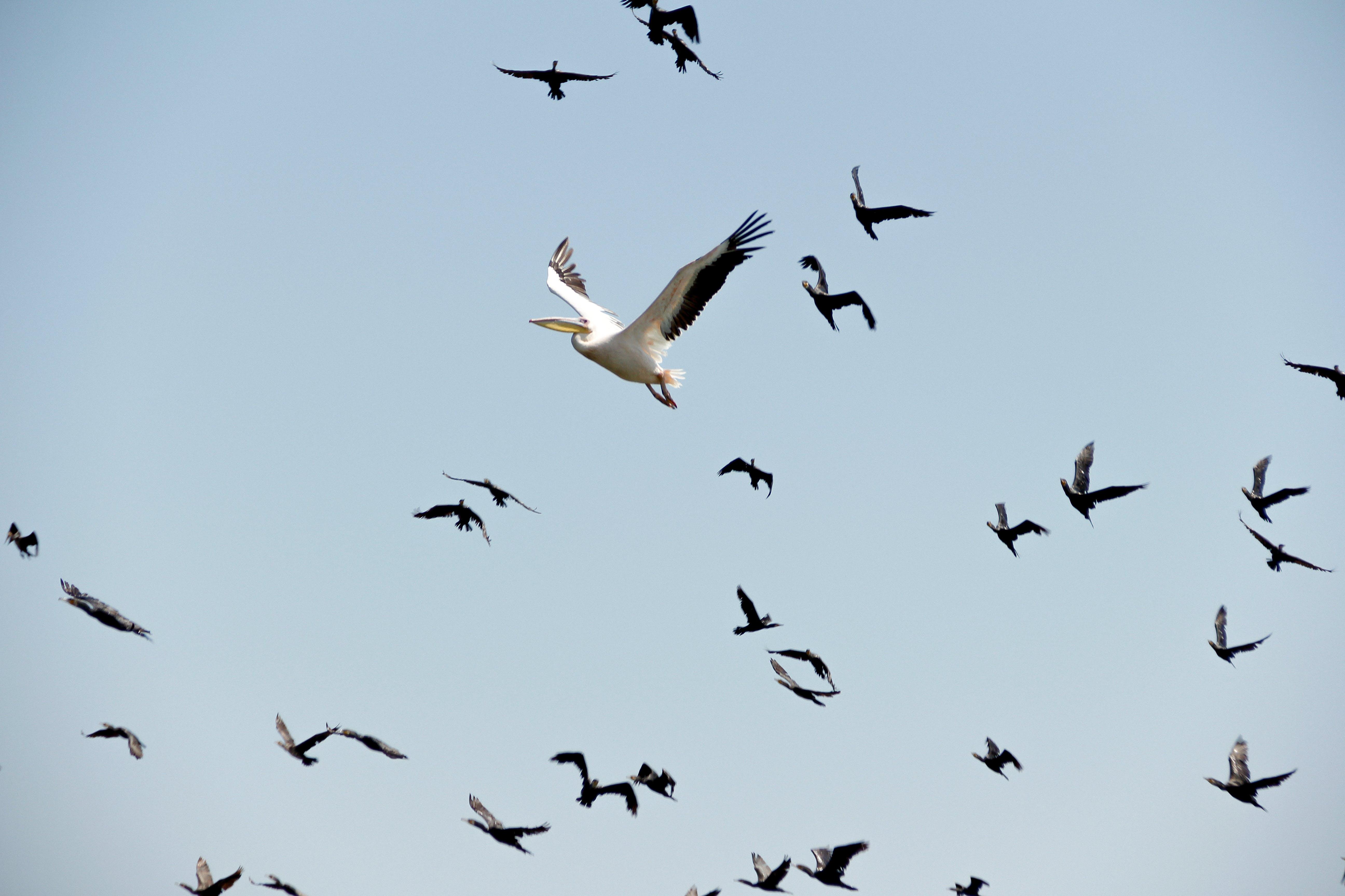 Pelican Snd Seagulls Flying