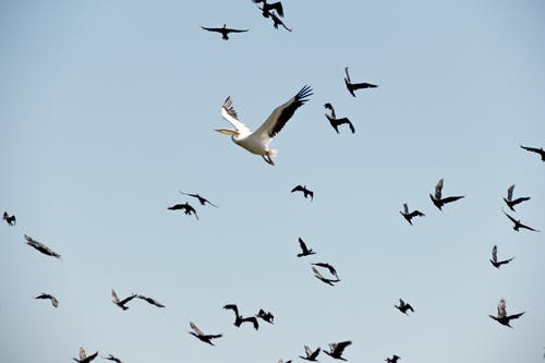Pelikan Und Möwen Fliegen