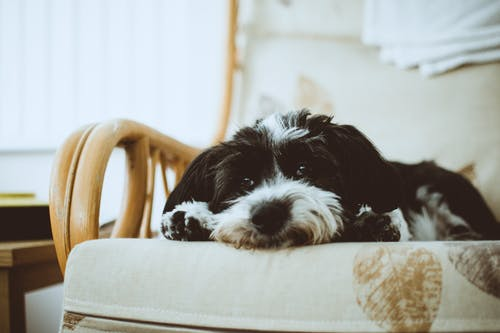 Black And White Havanese
