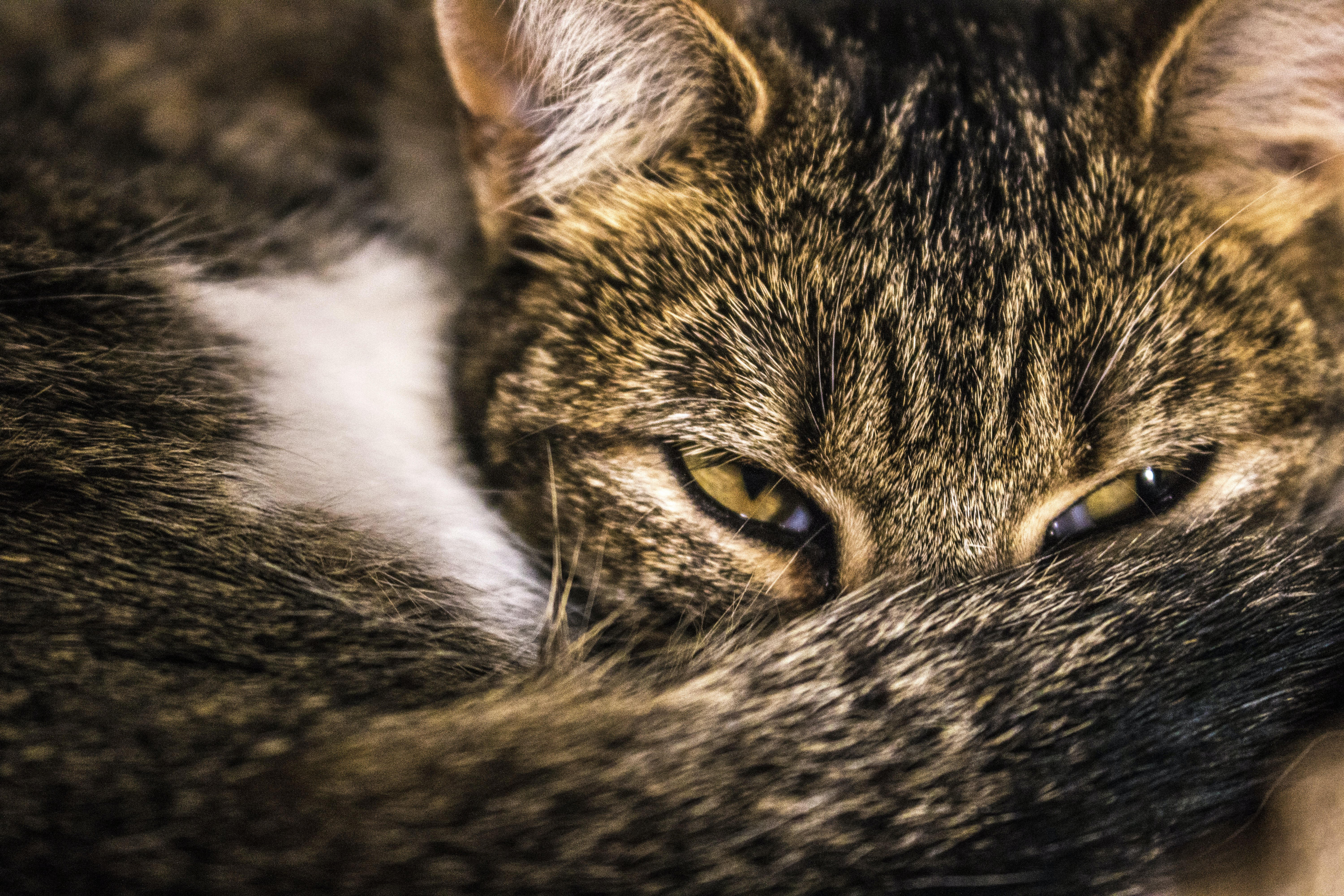 Close-up Photography Brown Tabby Cat