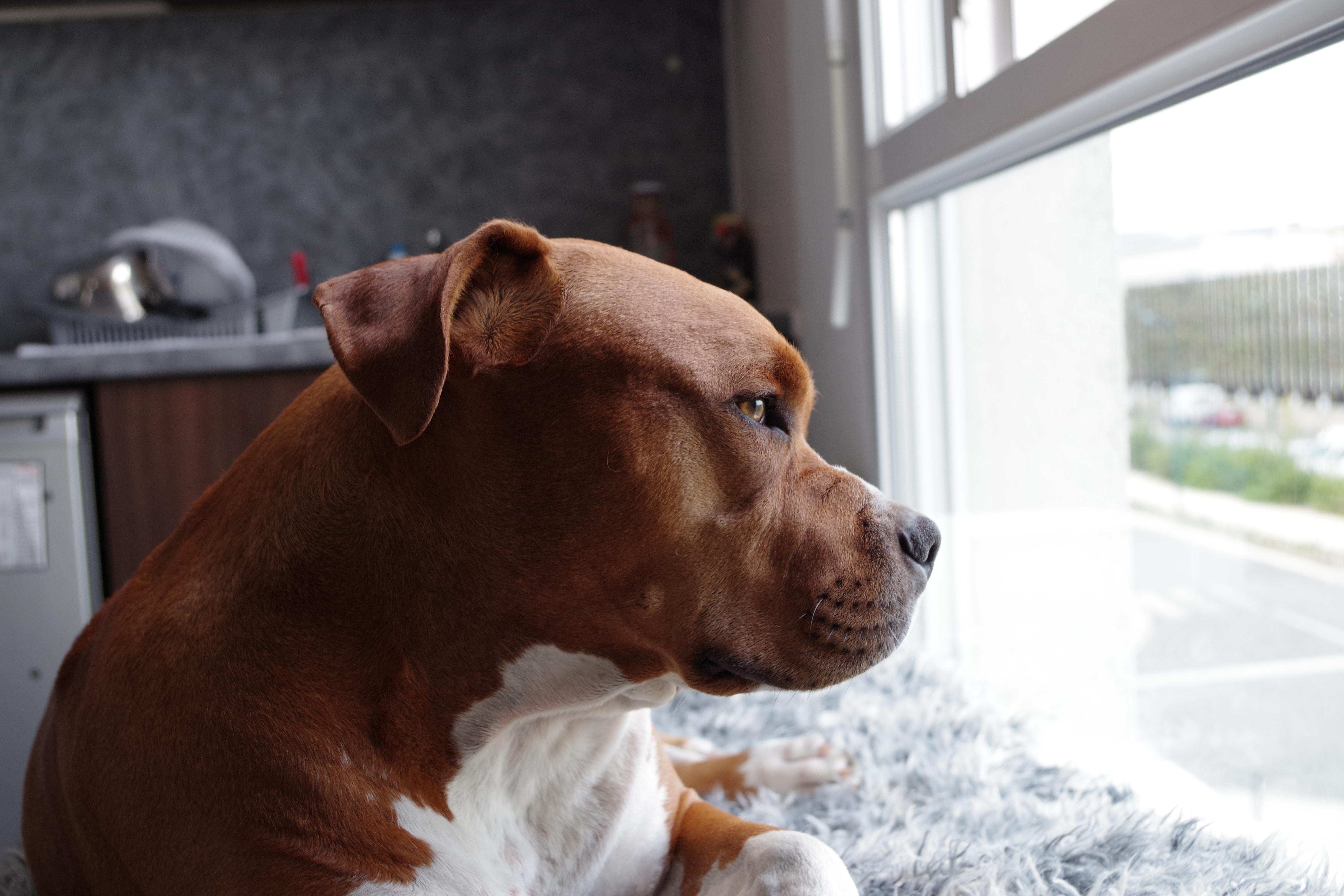 Foto Stok Gratis Tentang Anak Anjing Anjing Anjing Pitbull