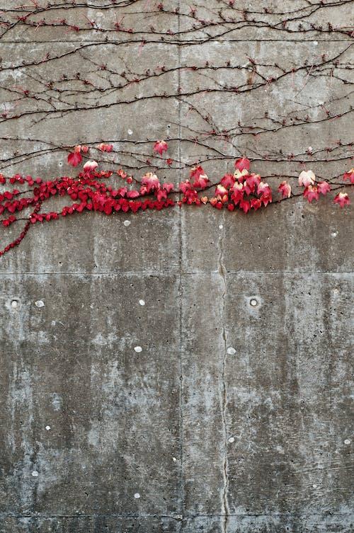 Základová fotografie zdarma na téma beton, břečťan, červená, flóra