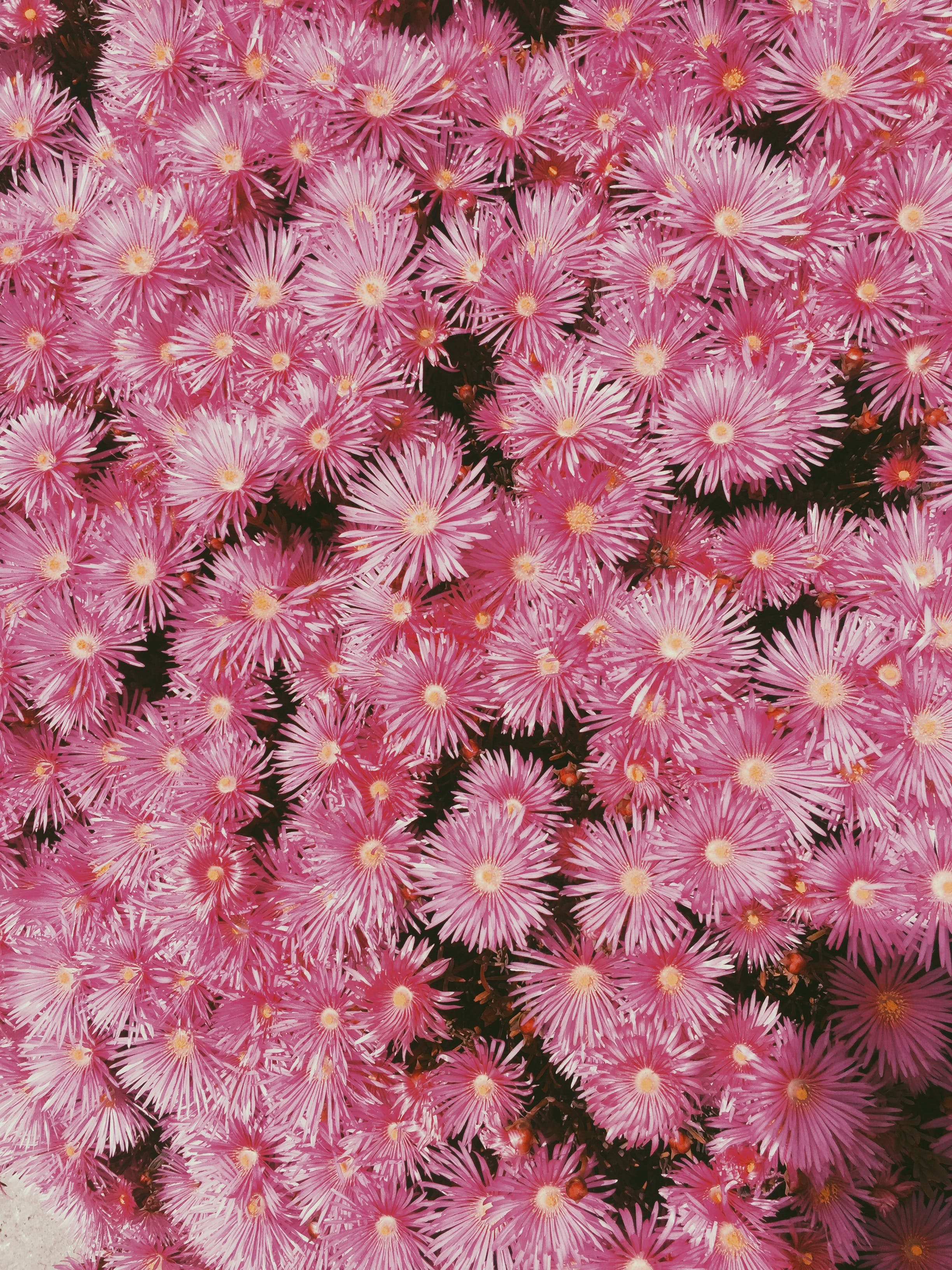 Free stock photo of daisies, flowers, pink, pink flowers