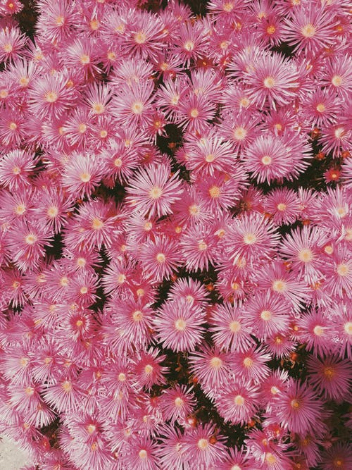 Free stock photo of daisies, flowers, pink flowers